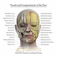 Facial Anatomy, Creative Video, Medical Illustration, Health And Beauty, Seattle, Las Vegas, Skull, Animation, Artist