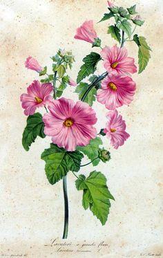 Gravure de  Louis-Charles Ruotte. Son sujet est Lavatera trimestris, la Mauve de Rose. Il a été publié dans Fleurs Dessinées d'après la Nature (1799-1801).