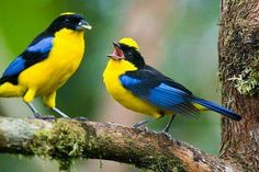 BLUE-WINGED MOUNTAIN TANAGERS (Anisognathus somptuosus) - a common, widespread tanager of lower Andean cloud forests. It is almost always found in groups of 3 to 10 birds that move quickly through the forest. Their diet consists of seeds, fruits and insects.