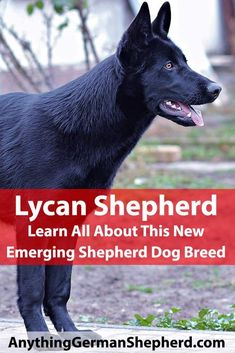 In this article, we bring you up to speed on what is known about the Lycan Shepherd dog breed, including approximate shape, size, temperament, coat, training needs, health issues and suitability for a home where kids and other pets may be present. Top Dog Breeds, Large Dog Breeds, Large Dogs, Herding Dogs, Purebred Dogs, Malinois Dog, Dog Line, Dog Store, Dog Hacks