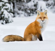 Red Fox by Corey Hayes