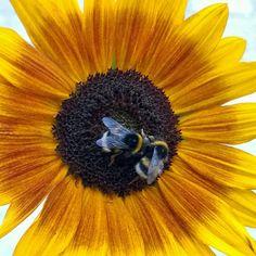 Humlefest i solsikken Bee, Photo And Video, Animals, Instagram, Animales, Animaux, Animal, Animais, Dieren