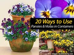 """Pansies provide winter color on winter days. Cooler days mean it is pansy planting time. Do it before the ground gets cold to give roots enough time to """"catch."""" It is wise to prepare the pansy bed before the plants arrive so there will be no delay in setting them out. Pansies provide lots of …"""
