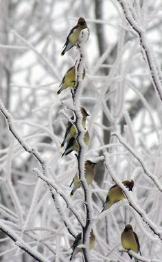 winter visitors - waxwings