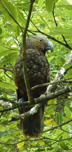 NZ, The Kaka bird - currently a protected species. The Beautiful Country, How Beautiful, Budgies, Parrots, Hobbit Land, North Island New Zealand, Protected Species, Kiwiana, Reptiles And Amphibians