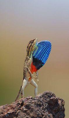 "Lagarto do gênero ""Sitana"" macho exibindo o seu papo extremamente colorido. Foto: Vishal Jadhav"