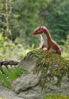 Weasel of adorableness!~ by Melusine.H