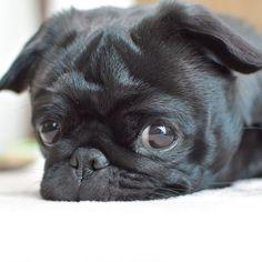 お昼寝タイム入りま〜す✨ #ぶちょーの#お昼寝の報告#どーでもええわ!#😂 . #お手手がまた変だよ〜(2枚目) #frenchbulldog #frenchbulldogpugmix #pug#フレブルとパグミックス #フレパグ#ミックス犬#フレンチブルドッグ #パグ#ぶちょーと聖子#chihuahua #チワワ #いぬ #dog #ブヒ #鼻ぺちゃ#犬 #犬バカ部#黒パグ#愛犬 #短足部#多頭飼い#可愛い#癒しわんこ
