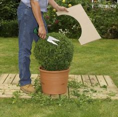 How to trim decorative shrubs by giving them special shapes – Practical ideas Topiary Plants, Topiary Garden, Topiary Trees, Boxwood Landscaping, Boxwood Garden, Front Yard Landscaping, Pinterest Garden, Courtyard Design, Garden Deco