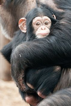 baby chimp and momma