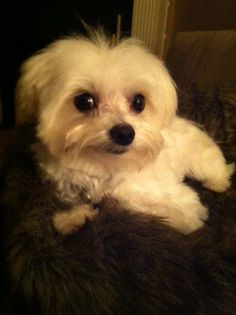 So cute! Teacup Maltese, Maltese Puppies, Cute Puppies, Cute Dogs, Animals And Pets, Baby Animals, Cute Animals, Dog Toys, Toy Dogs