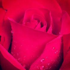 Opening Night - Hybrid Tea Rose