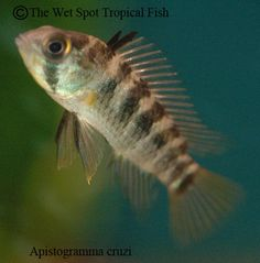 1000 images about freshwater fish south american for The wet spot tropical fish