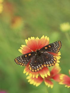 Baltimore Butterfly (Euphydryas Phaeton), Family Nymphalidae, Pennsylvania, USA