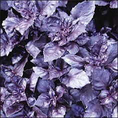Purple Dark Opal Basil  So pretty! I hate that I can't get basil to grow this year.