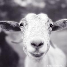 "SALE - 7x7 Smiling Goat Photo - Happy Farm Animal Art Print - Goat Art - Black and White Photography Print - Goat Print - ""Mitten the Goat"". $15.00, via Etsy."