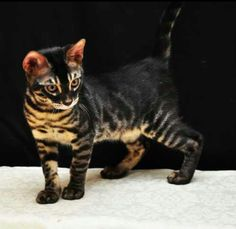 This is called a Charcoal Bengal. I don't know where I would find one but I want one!!