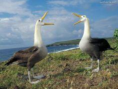 Courtship Display, Waved Albatross, Galapagos   Fondos de escritorio ...