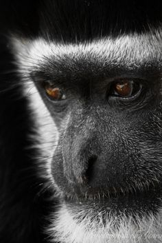 Black and White Colobus.  Photo by Jeannette Rud