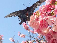 桜と蝶 今帰仁城跡