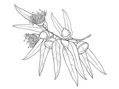 Eucalyptus globulus or Tasmanian blue gum. botanical illustration nature symbol tree australian black white flora coloring page coloring book line art outline contour drawing eucalyptus Line Art Flowers, Flower Line Drawings, Botanical Line Drawing, Flower Sketches, Floral Drawing, Botanical Drawings, Botanical Art, Tree Line Drawing, Drawing Flowers