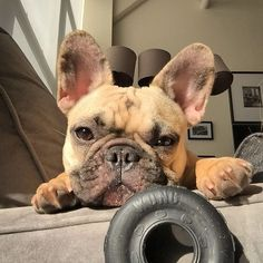 Just one look into these eyes... #refinery29 http://www.refinery29.com/cute-french-bulldog-pictures#slide-4