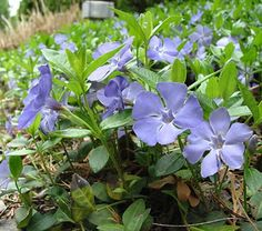 Periwinkle  Vinca selections  Light:Sun,Part Sun,ShadePlant Height:4-18 inches tall, depending on varietyZones:4-9Plant Type:Perennial  Glossy leaves, stellar blue flowers, quick coverage -- periwinkle is an ideal coverage for shade. Its only flaw is that it's so...read more >  Plant with : Lungwort, Lilyturf, Japanese forestgrass
