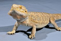 The Lifespan of a Bearded Dragon Depends on Proper Care Bearded Dragon, Reptiles, Animals, Tips, Baby, Animales, Animaux, Newborn Babies, Infant