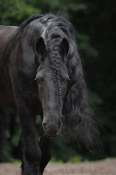 This blog is dedicated to my one and only true love - friesian horses. They are, without a doubt,...