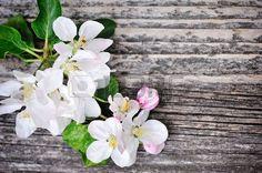 fleur de pommier: Apple blossom on a old wooden background Banque d'images