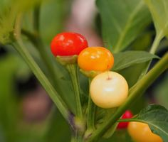 Holiday Time Chilli Seeds