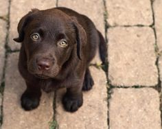 chocolate lab puppy -- For Puppy Fridays from Underdog Rescue of Arizona