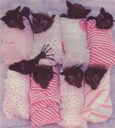 Baby Bats in rehab. Just too cute.