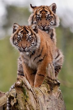 Tiger Twins: Burgers Zoo, The Netherlands.