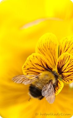 Bee in yellow flower - without them we have no food - unless we hire massive amounts of people to HAND POLLINATE all the farms, gardens and nurseries.