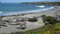 elephant seals along hwy 1