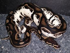 Axanthic Calico - Morph List - World of Ball Pythons Pretty Snakes, Cool Snakes, Colorful Snakes, Beautiful Snakes, Animals Beautiful, Ball Python Morphs, Cute Reptiles, Reptiles And Amphibians, Dream Snake