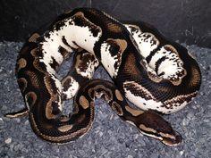 Axanthic Calico - Morph List - World of Ball Pythons