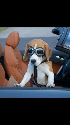 Beagle road trip