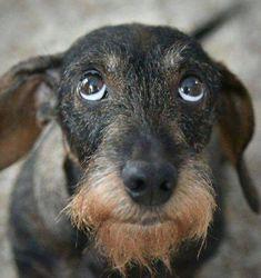 Wired hair dachshund the cutest dogs ever #Dachshund