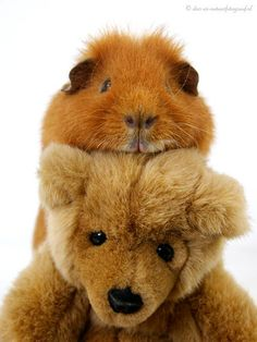 Guinea Pig with Teddy