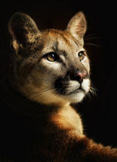 Pretty Cats, Beautiful Cats, Animals Beautiful, Cute Cats, Nature Animals, Animals And Pets, Cute Animals, Big Cats Art, Photo Animaliere