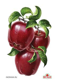 "Red apples. Illustration for the line of juices ROTTALER (OOO ""Neva cheese""). http://www.nevcheeses.com"