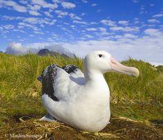The wandering albatross, snowy albatross or white-winged albatross (Diomedea exulans)