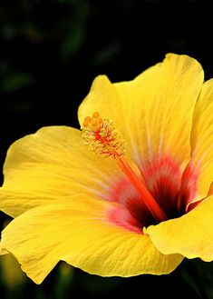 ~~Hibiscus by Kenneth Er~~ my favorite and I have one planted in the backyard! I can't wait until it blooms