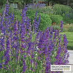Rocky Mountain beardtongue, wth its spikes of bright blue flowers and evergreen foliage, is one of the easiest-to-grow Penstemon. Long lived, this beauty thrives in most any well drained soil with full sun exposure.  Drought resistant/drought tolerant plant (xeric).