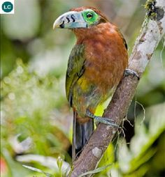 https://www.facebook.com/WonderBirdSpecies/ Spot-billed toucanet (female)(Selenidera maculirostris); South America: Argentina, Brazil, and Paraguay.; IUCN Red List of Threatened Species 3.1 : Least Concern (LC)(Loài ít quan tâm) || Chim Toucan mỏ đốm (mái); Nam Mỹ: Argentina, Brazil, và Paraguay.; Họ Toucan-Ramphastidae.