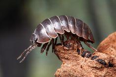 Crustacea - Classe Malacostraca, Subclasse Eumalacostraca (Ordem: Isopoda)