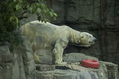 Ida at the Central Park Zoo. The story about the annual replacement of the fur is true.  She was a very old bear there, and it shows. She probably doesn't enjoy the heat, but isn't there a pool for her to cool off? She died in 2011, and was mourned by her mate Gus.