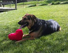 ADOPTED!!! Maximillian is a fabulous 5yr old German Shepherd mix looking for his forever family. He loves other dogs and as big as he is Max is afraid of cats. Does well meeting people with other dogs around and relaxes better meeting people outside. He loves car rides and water, great with kids. He will be 6 in Sept. He is a pretty mellow, laid back dog. causeforpawsohio.com